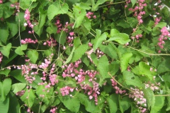 Coral Vine, Antigonon leptopus, is a very hardy vine often used to cover fences in tropical and subtropical climates. However, it can become an aggressive weed and needs continual trimming to keep it under control.